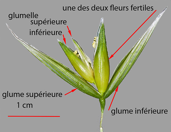Dissection d'une fleur d'avoine Avena sativa