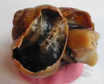 Dissection coeur escargot ouverture coquille