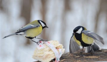 Parus major et nourriture